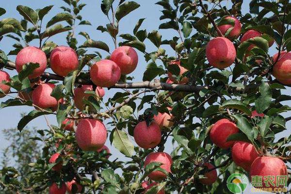 蘋果樹嫁接技術