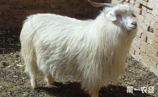 德绒山羊_提高绒山羊产绒量的养殖方法