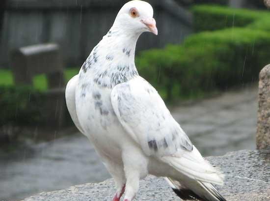 鸽子怎样养殖+