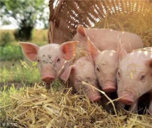 了解猪日粮中脂肪的价值,对养猪有大帮助!