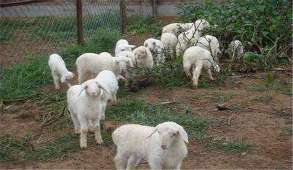 山羊冬季如何饲养管理