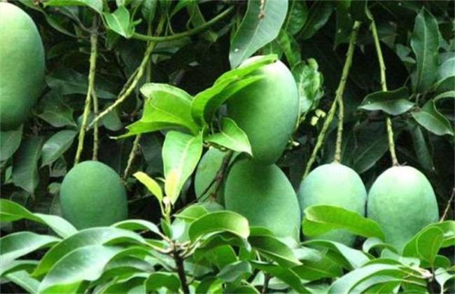 5、病虫害防治 芒果常见的病害是流胶病和白粉病,在种植时就要选择抗病力强的品种,在种植时要经常清除杂草杂物,减少病原,修剪枝条,增加通透性,防止病菌滋生,发病时可用药剂喷洒防治。而虫害主要是柑桔小实蝇和天牛等,它们主要吸食汁液或啃食叶片,导致植株生长弱势或减产,可用除虫药剂防治。