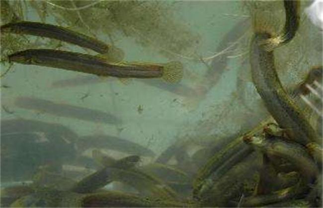 家养泥鳅_养泥鳅需要多少成本_泥鳅人工养殖