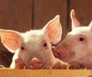秋冬季节猪气喘病高发季节 如何治疗猪气喘病效果好?