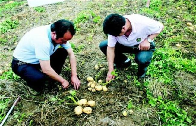 土豆生长过程步骤图