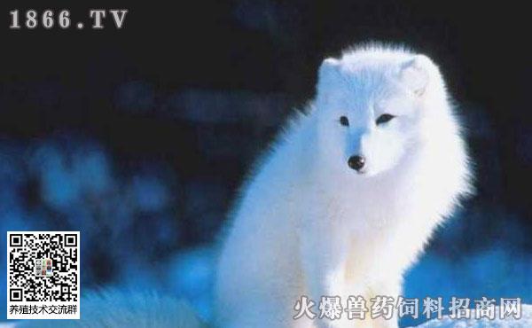 武汉大学小白狐,白狐可以养吗?白狐狸怎么养