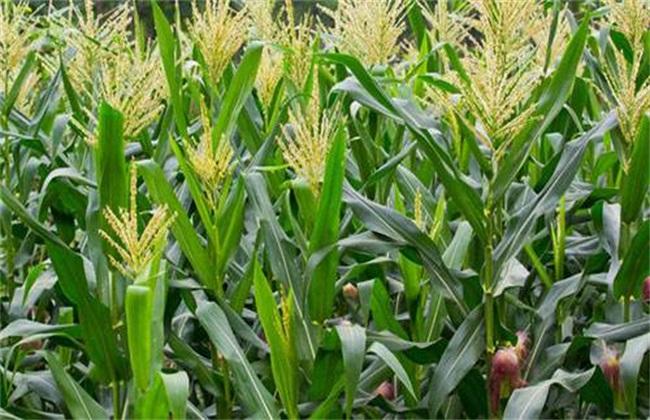 玉米 编织小动物