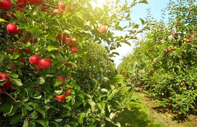 4、土壤不宜 果农们种植的时候通常都会忽略了对果园土壤的管理,没有对土壤进行中耕工作,除草也是使用药剂。并没有松软土壤,加强土壤的通透性,土壤长时间处在密闭干硬的状态下。使果树的根部只能逐渐的向土壤上部伸延,导致稍微缺水或是多水就会使根部受到损伤。树根无法呼吸,果树缺少营养供给,树势逐渐变弱并且大量落叶烂根。