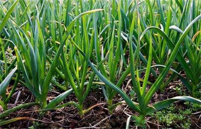 蒜苗的栽培技术要点.图片