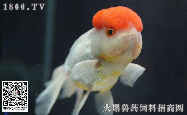 如何正确养金鱼?如何正确的换水?