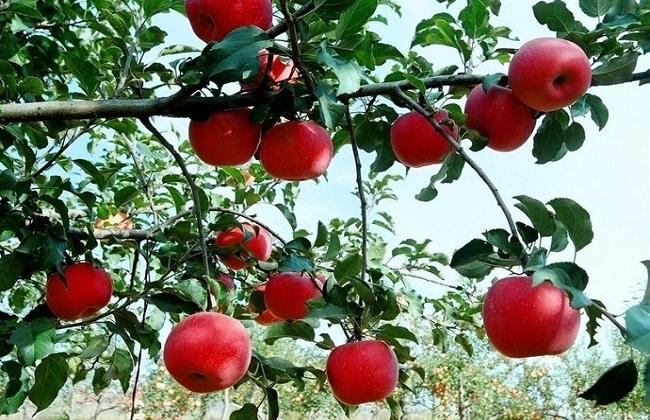 苹果树的繁殖方式