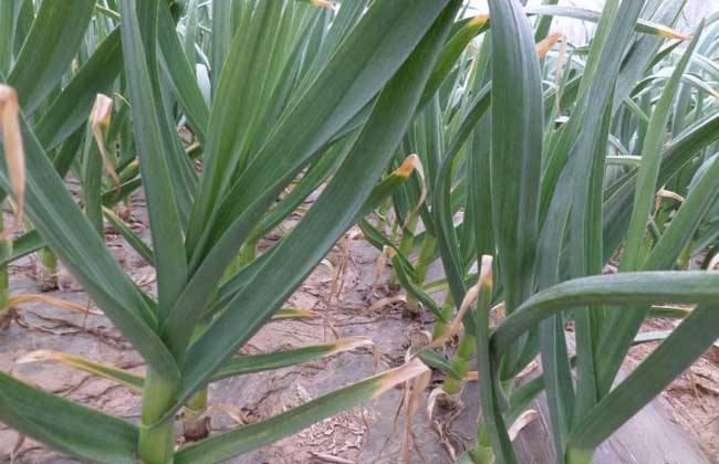 温保暖   大蒜的成熟季节一般都是 特别是在北方.大蒜生长过程中如