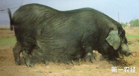 图:湖北清平猪   湖北清平猪是我国的地方猪种之一,是我国重点保护的地方品种猪。以繁殖力强、妊娠期短,容易受胎而备受广大养殖户的下。本文将从湖北清平猪的有点为您全面做介绍。   湖北清平猪所以能成为湖北和华中乃至全国的后起之秀,主要有以下优点:   一、体型外貌具有优良的地方特色,体型不大,属中等体型,一般体高公母分别为75.3和67.71厘米,体长公母分别为139.6和136.12厘米,胸围分别为118.9和111.62厘米,体重分别为129.91千克和111.73千克。其体尺体重指标界于大型和小型猪
