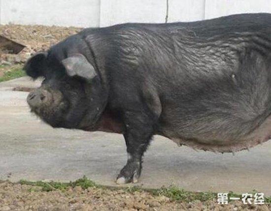 """黑猪   雅南黑猪   我国川西一带流传着一句俗话叫——家家都有黑毛猪。这句话中所谓的""""黑毛猪""""指的就是雅南黑猪。曾经在整个四川省,雅南黑猪是养殖量最大的家畜没有之一!根据相关数据显示,在八十年代我国四川省雅南黑猪光是母猪的存栏量就达到了七万多头,用以配种的雅南黑猪种公猪数量也达到了了两千多头。可惜此一时彼一时,如今雅南黑猪早已不复往日盛况。   皖北黑猪   皖北黑猪不像莱芜黑猪的历史一样那么悠久,但是相对于其他的地方猪品种来说,皖北黑猪依旧是老前辈般的"""