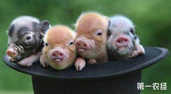 宠物猪   随着我们生活的越来越好,越来越多的人都喜欢养宠物,一般的都是养个狗狗,猫咪的,不过,现在越来越多的人开始喜欢养宠物猪,因为猪普遍比其他的宠物聪明,那么宠物猪都是有哪些品种呢?   越南大肚猪——这种小猪可能是今天最流行的品种。它们拥有吸引人的外形和驯服的性格。他们夸张的背部和大肚子(其他动物喂的过饱的标志)是完全正常和健康的。它们平均身高大约35厘米,平均体重大约45斤。   胡利亚尼猪(彩绘小猪)——这些小家伙真的很小,平均身高25-40厘米