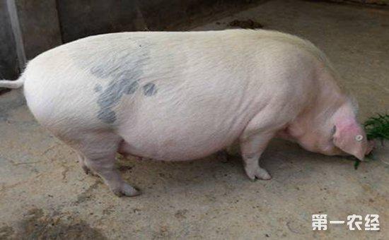 妊娠母猪常见的疾病有哪些?妊娠母猪常见疾病的防治方法