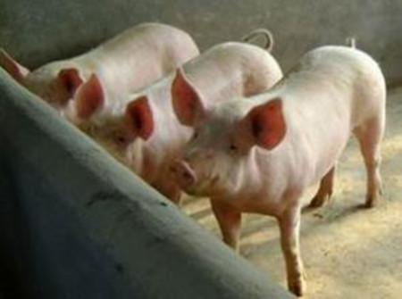 如何诊断科学治疗猪顽固性便秘?