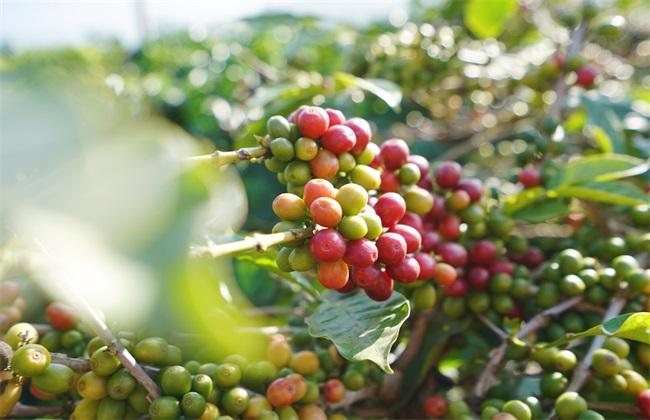 咖啡豆高产种植专用有机肥
