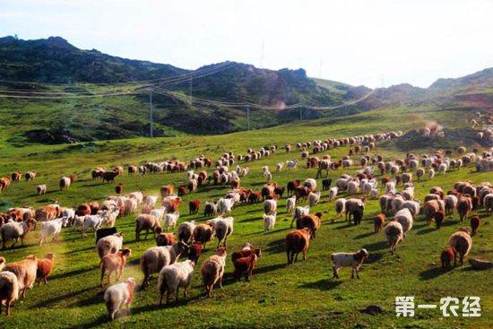 养殖牛羊增收入,日子过得红红火火