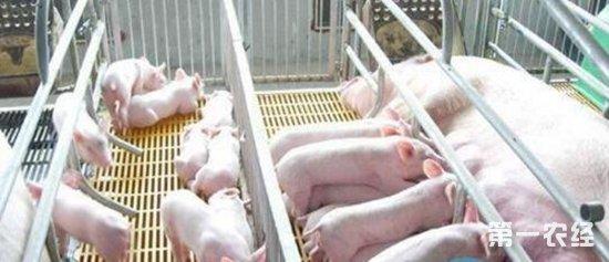 妊娠母猪舍是定位栏和猪圈那个比较好