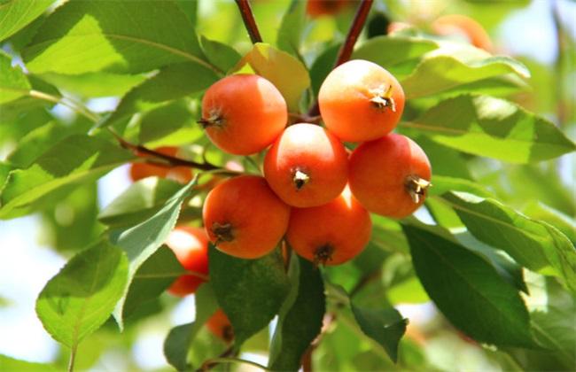 农村网 > 正文   海棠果它是海棠树开出的海棠花所结出的果实,是一种