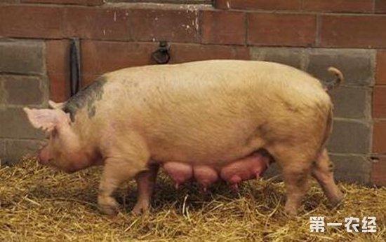 理想的母猪群胎次结构是什么?