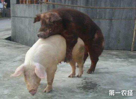 男人与猪性交_母猪性成熟要多长时间?