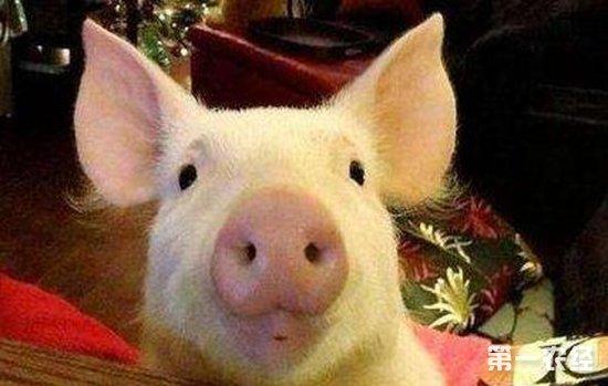 如何训练宠物猪?宠物猪的训练方法