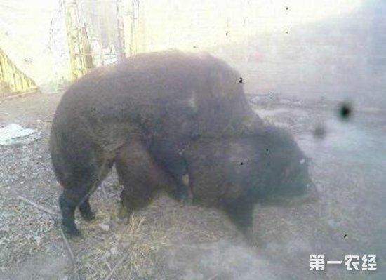 特种野猪配种与接产的注意事项