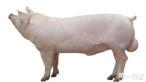 饲养管理 > 正文       二,长白猪的种用价值     长白成年公猪平均