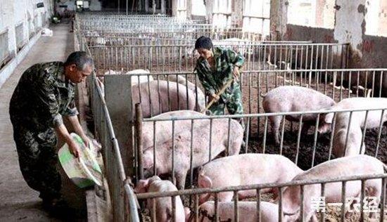用豆饼喂猪时应注意哪些问题?图片