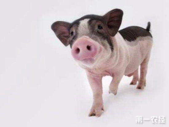 现在宠物猪被很多人接受,一开始是国外将猪作为宠物,可能是最后养是一头大猪,后来大家机智了开始养小型猪,宠物猪市场有很多小型猪,而当中麝香猪宠物猪是非常受欢迎的,那么麝香猪宠物猪饲养 怎么养好麝香猪。   在国外,也有就养家猪做宠物猪的.不管它的个头有多大.后来人们开始培养小型猪来饲养,一是便有了各种各样的宠物猪,目前,市场上有泰国的、日本。麝香猪宠物猪饲养分享给大家。   麝香猪是台湾产的一种香猪,也是现在流行的家养宠物猪,生长较缓慢,最多能长到20~30公斤,控制好的(食量加运动)能控制在10公斤内
