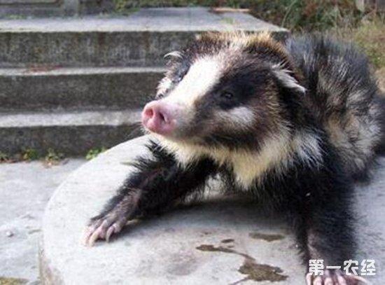 獾猪是保护动物吗