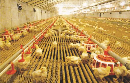 养鸡场设备须要的有什么?养鸡场设施设备清单