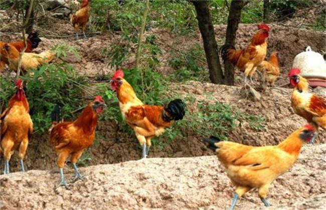 梦见养鸡喂食
