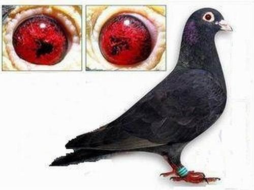 鸟类鸽鸽子技术图示鸟动物500_373v鸟类与教学大熊猫ppt图片