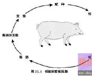 如何让母猪有规律的发情,这些你必须了解!