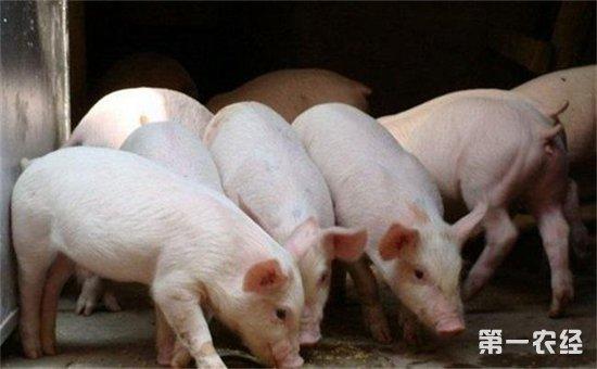 秋季猪呼吸道疾病怎么治疗? (1)