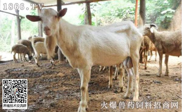 羊支原体肺炎会有哪些症状?羊支原体肺炎流行