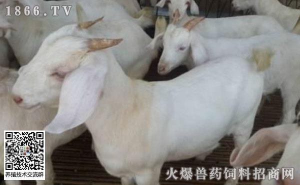 羊支原体肺炎会有哪些症状?羊支原体肺炎流行特点?