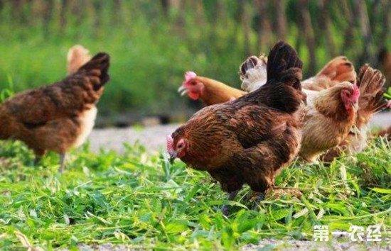 生态养鸡有什么好处?生态养鸡的优势