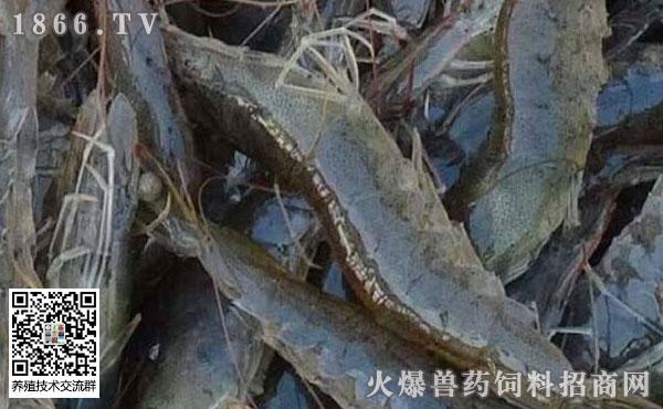 罗氏沼虾的养殖技术、成本、利润分析