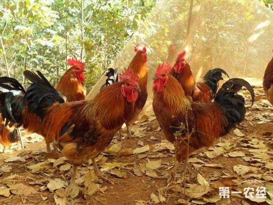 怎么防止散养鸡死亡?散养鸡死亡的原因可能是这些