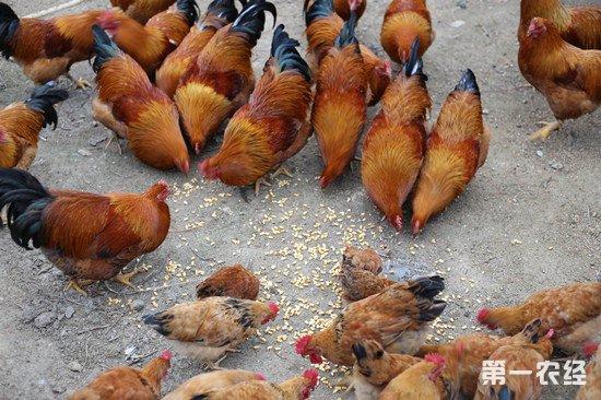 要养好散养鸡 一定要做好这五点