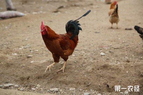如何降低养鸡成本提高利润?这几个方法你做到了吗
