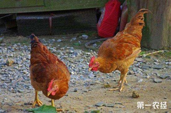 养鸡技术:饲料添加剂的使用