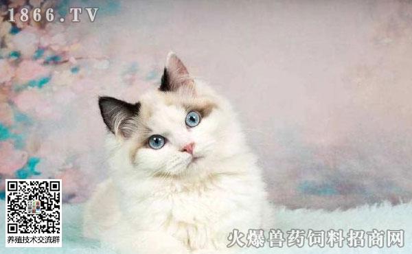 布偶猫为什么不能养?不适宜养布偶猫有四大理由!