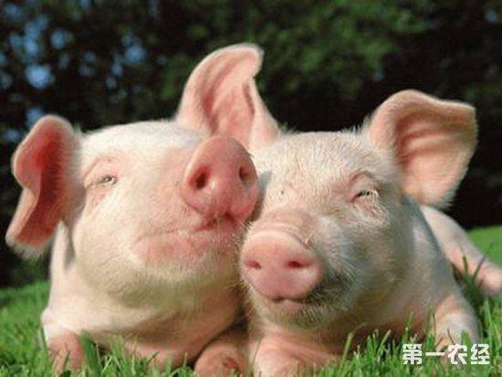 饲养管理 饲养管理 > 正文       我们在养猪过程中,有时候会遇到猪群