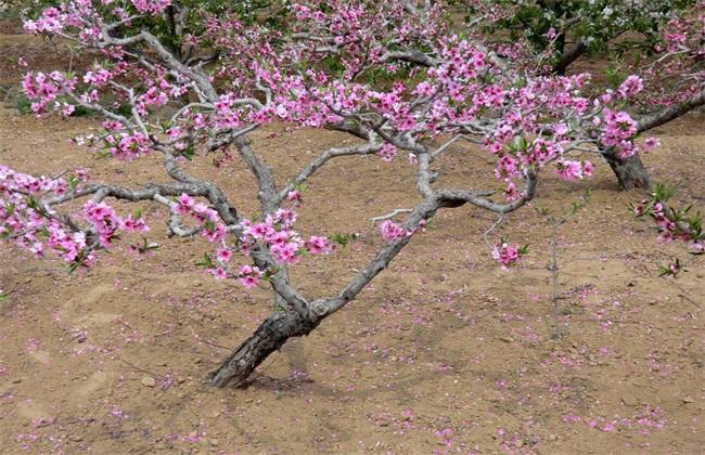 桃樹的修剪技術要點