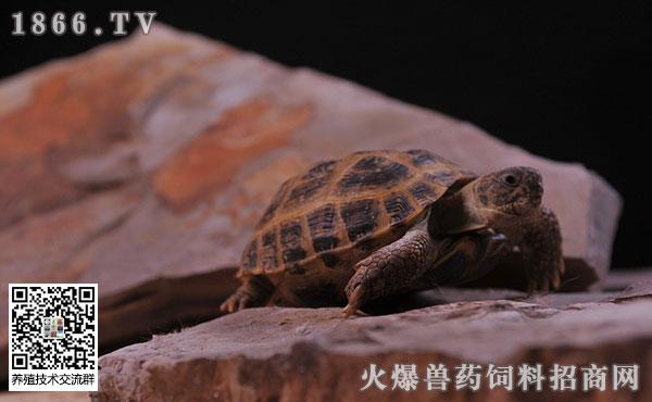 俄罗斯陆龟有哪些形态特征?它的求偶方式